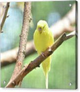 Precious Little Yellow Parakeet In The Wild Acrylic Print