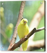 Precious Yellow Budgie Parakeeet In The Wild Acrylic Print