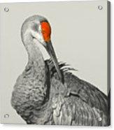 Preening Crane Acrylic Print