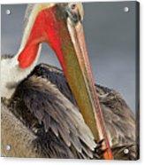 Preening Pelican Acrylic Print