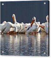 Preening Pelicans Acrylic Print