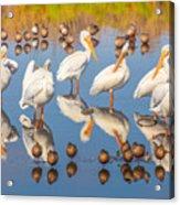 Preening Primping Pelicans Acrylic Print