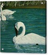 Preening Swans Acrylic Print
