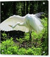 Preening The Wings Acrylic Print