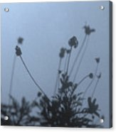 Pressed Daisy Bush Blue Acrylic Print