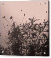 Pressed Daisy Bush Pink Acrylic Print