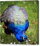 Pretty Blue Acrylic Print