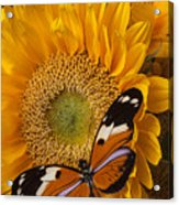 Pretty Butterfly On Sunflowers Acrylic Print