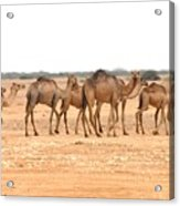 Pretty Camels All In A Row Acrylic Print