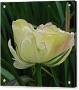 Pretty Cream Colored Tulip Edged In Red With Dew Acrylic Print