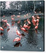 Pretty Flamingoes Acrylic Print