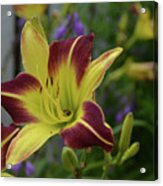 Pretty Flowering Lily In A Garden  Acrylic Print