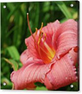 Pretty Flowering Pink Lily In A Garden Acrylic Print