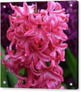 Pretty Hot Pink Hyacinth Flower Blossom Blooming Acrylic Print