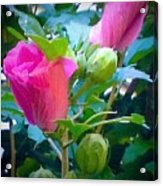 Pretty In Pink Hibiscus Flowers And Buds Acrylic Print