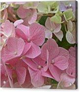 Pretty In Pink Hydrangeas Acrylic Print