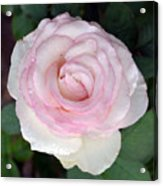 Pretty In Pink Rose Acrylic Print