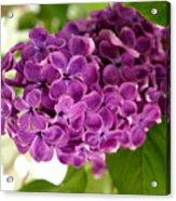 Pretty Lilac Bush Acrylic Print