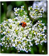 Pretty Little Ladybug Acrylic Print by Mariola Bitner