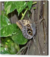 Pretty Morpho Butterfly Resting In A Butterfly Garden  Acrylic Print