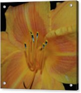 Pretty Orange Daylily Flowering With Pollen On It's Stamen Acrylic Print