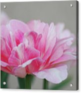 Pretty Pale Pink Parrot Tulip Flower Blossom Acrylic Print