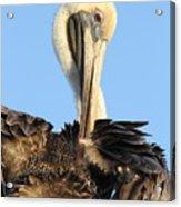 Pretty Pelican Acrylic Print