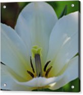 Pretty Perfect White Tulip Flower Blossom In The Spring Acrylic Print