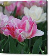 Pretty Pink And White Striped Ruffled Parrot Tulips Acrylic Print