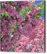 Pretty Pink Blossoms Acrylic Print