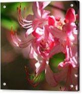 Pretty Pink Acrylic Print