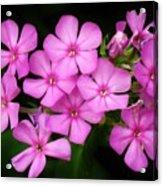 Pretty Pink Prairie Phlox Acrylic Print