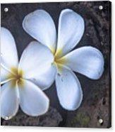 Pretty Plumeria Acrylic Print