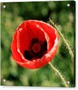 Pretty Poppy Acrylic Print