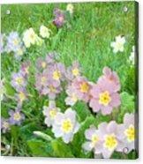 Pretty Primulas 1008 Acrylic Print
