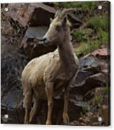 Pretty Proud Acrylic Print by Barbara Schultheis