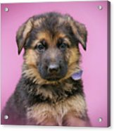 Pretty Puppy In Pink Acrylic Print