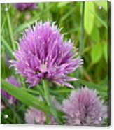 Pretty Purple Chive Flower Acrylic Print