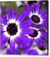 Pretty Purple Daisies Acrylic Print