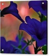 Pretty Petunias Acrylic Print