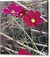 Pretty Red And Yellow Flowers In The Twigs Acrylic Print