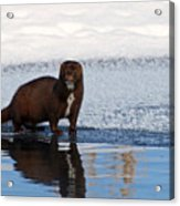 Pretty Reflecting Mink Acrylic Print