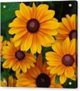 Pretty Rudbeckia Flowers In Bloom Acrylic Print
