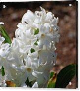 Pretty White Hyacinth Flower Blossom Flowering Acrylic Print