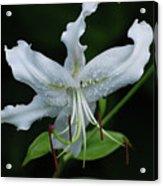 Pretty White Stargazer Lily Flower Blossom Acrylic Print