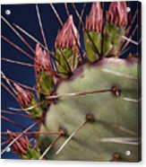 Prickly Buds Acrylic Print by Kelley King