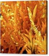 Prickly Orange Shrub Acrylic Print