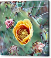 Prickly Pear Bloom Acrylic Print