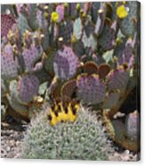 Prickly Pear Blooms Acrylic Print