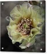 Prickly Pear Blossom 3 Acrylic Print by Roger Snyder